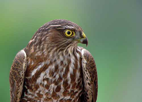 Sharp-shinned Hawk imm.